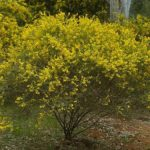 Crowded Leaf Wattle or Golden Top