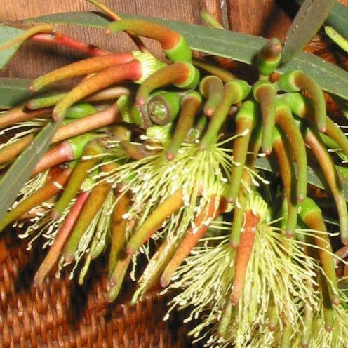 Bushy Yate Seed