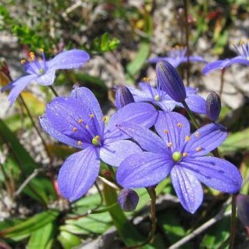 Blue Stars, Blue Squill Seed