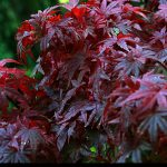 Japanese Red Maple