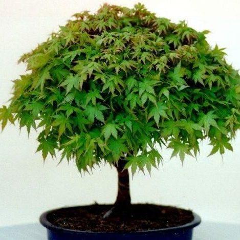 Acer palmatum1