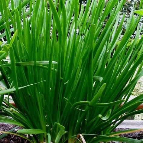 Allium tuberosum 03