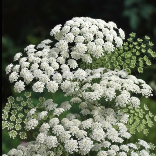 Ammi Queen Annes Lace 01