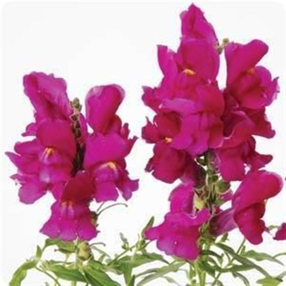 Antirrhinum Costa Purple