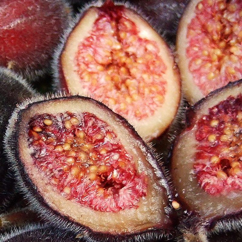 Ficus coronata1