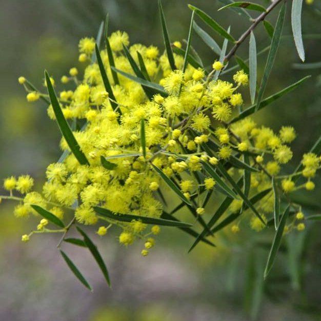 Acacia Fimbrata