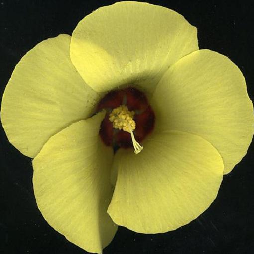 Hibiscus Austrinus Native Yellow Hibiscus Seeds X20 Ole