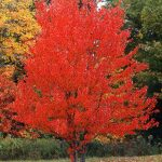 Red or Curled Maple