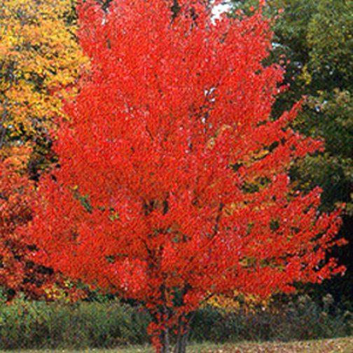 Acer Rubrum Red Maplecurled Maple Seed X25 Ole Lantanas Seed Store