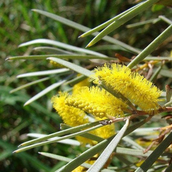Acacia Aneura Mulga Or Yarran Wattle Seed X30 Ole Lantanas Seed