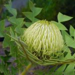 Birdnest or woolybear banksia
