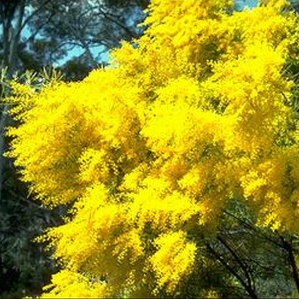 Acacia boormannii