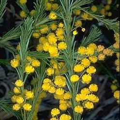 Blackdown Table Wattle