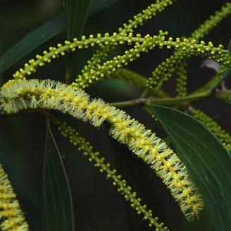 Acacia grandiflora