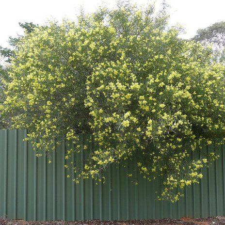 iteaphylla 05