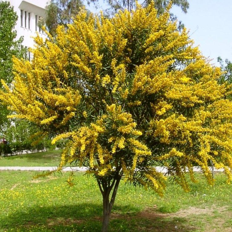 longifolia 05