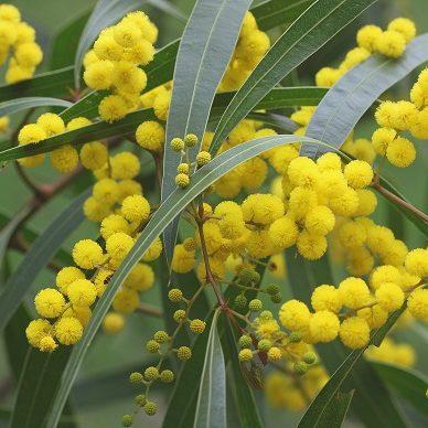Acacia macradenia