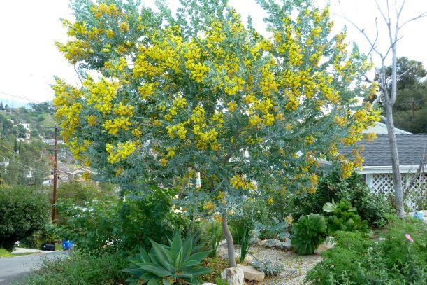 podalyriifolia 04