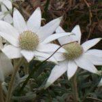 NSW Flannel Flower