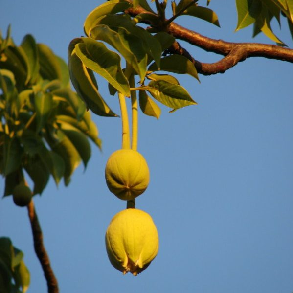 Adansonia digitata Warm Tropic Tall Tree Adaptable Monkey Bread Tree Seed