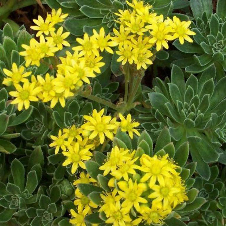 Tree Houseleek Aeonium simsii Seed Spreading//Branching Succulent Arid Living