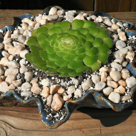 Flat Topped Aeonium