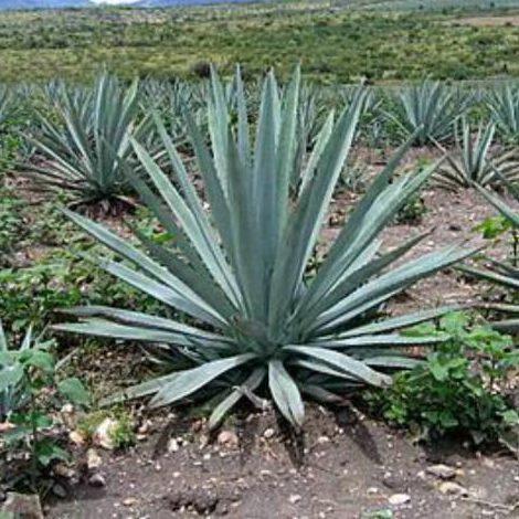 Century Plant, Spiked Aloe