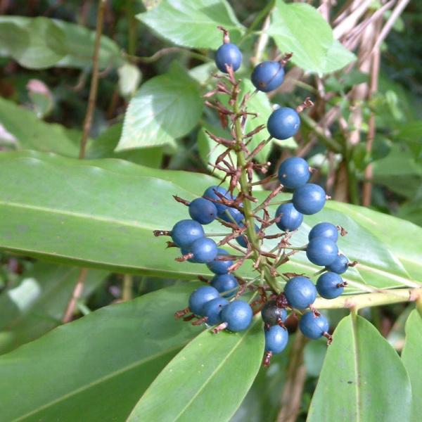 Alpinia caerulea