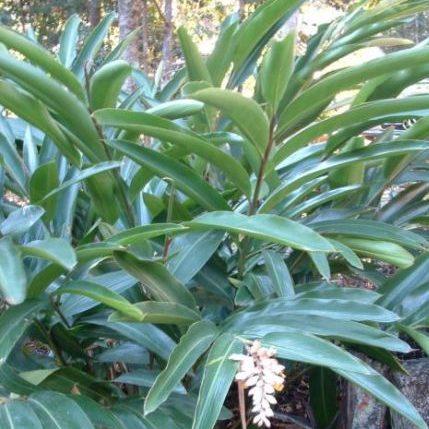 Alpinia caerulea 2