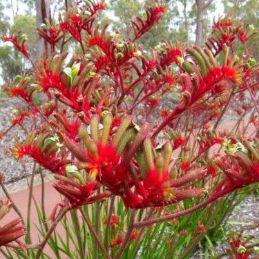 Anigozanthos flavidus red