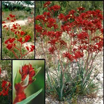 Red Kangaroo Paw