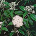 Lemon Scented Myrtle