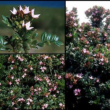 Winged Boronia Seed Pink Flowers Aromatic Evergreen Shrub Drought Tolerant