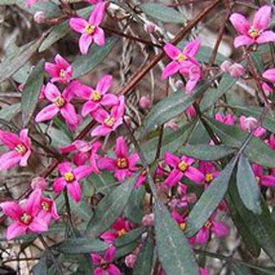 Pink Boronia