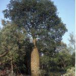 Broad Leaved Bottle Tree