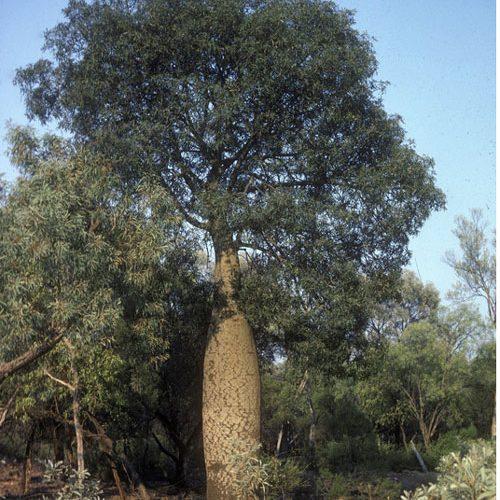Brachychiton australis