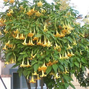 Brugmansia suaveolens1