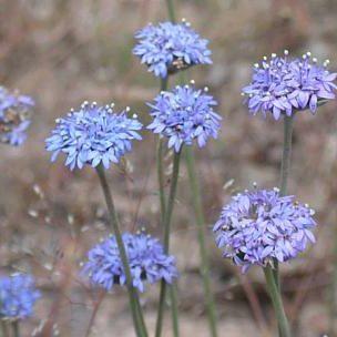 Brunonia australis3