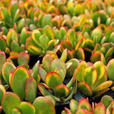 Aeonium webbii Seed RARE Yellow-Green Foliage Turns Pink in Summer gorgonium