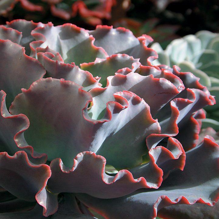 Echevaria gibbiflora v cuanana 2
