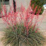 Red Yucca, Hummimgbird