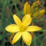 Golden Lily, Native Leek