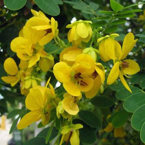 Cassia glauca0