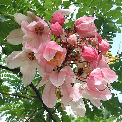 Cassia javanica0