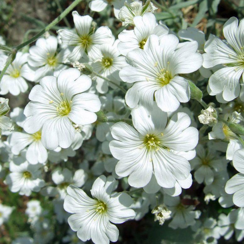 Cerastium tomentosum silver carpet