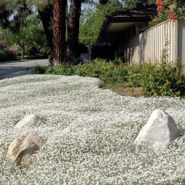 Cerastium tomentosum silver carpet0