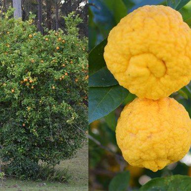 Citrus limon 03
