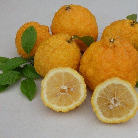 Citrus limon 04