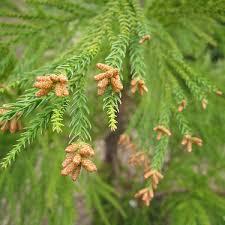 Cryptomeria japonica1