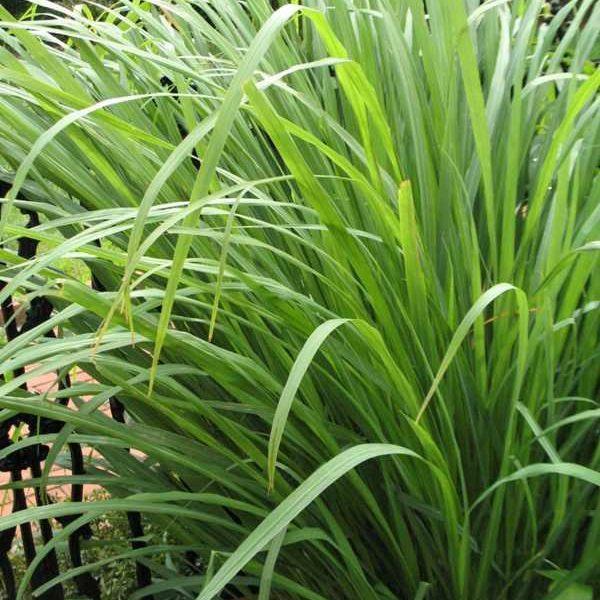 Cooking Flavouring Folk Medicinal Cymbopogon citratus Asian Lemon Grass